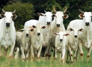 Conheça as regras básicas da reprodução bovina