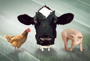 As carnes suína e de frango subiram. E agora, como fica o boi?