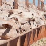 Confinar: simpósio de gado de corte encerra nesta quarta-feira