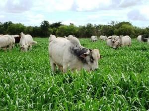 """Conheça o mais potente """"herbicida"""" para pastagens"""