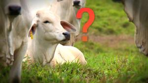 Qual é o futuro da pecuária brasileira?