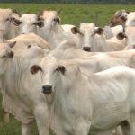 Fazenda sobe farol verde da qualidade em mais de 10% com redução da idade ao abate