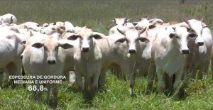 Castração e genética tricross contribuem e fazenda alcança 70% de abates com gordura ideal
