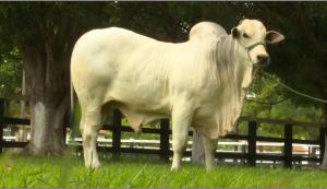 DEP para maciez da carne é novidade em lançamento de sumário de touros