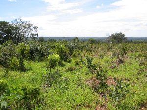 Metade das áreas de pastagens no Brasil está infestada com ervas daninhas