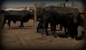 Confinamento: Cocho limpo não significa animal com fome, nem sobra indica gado satisfeito