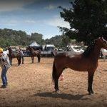 Criadores de Quarto-de-Milha e Mangalarga Marchador participam de eventos nacionais nesta semana