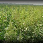 Plantas invasoras podem reduzir lotação de pastagens em cerca de 70%