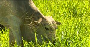 Saiba como produzir 30 arrobas por hectare ao ano otimizando a colheita de capim