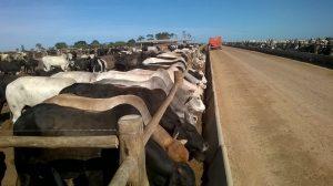Aumenta número de animais confinados no Tocantins