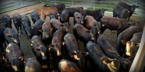Vilhena-RO realiza primeiro abate em parceria com o programa Carne Angus Certificada