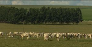 Fazenda de GO produz 42 arrobas por hectare ao ano em pastagem de Tifton