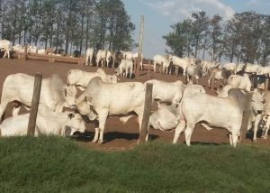 Cetap de Guaiçara-SP envia primeiros animais para abate nesta semana