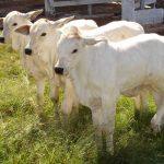 Como cuidar dos bezerros das vacas de primeira cria?