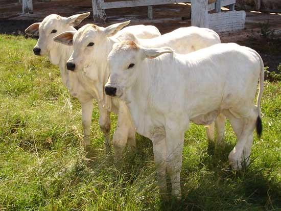 Bezerros clonados em Pirassununga (SP) a partir de touro nelore reprodutor