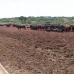 Giro do Dia: cruzamento industrial na Fazenda Montana, de Vilhena-RO