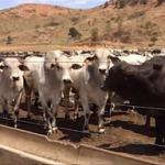 GMD de animais azebuados confinados em MG chega a 1,550 kg