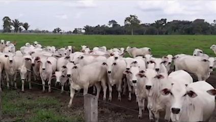 Semi-confinamento após desmama viabiliza abate de animais de até 20@ com 18 meses