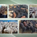 Participe e escolha o melhor gado!