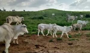 Pecuaristas do MA lançam mão da IATF para aproveitar escore ideal das vacas em regiões com chuvas irregulares