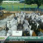 Giro do Dia: novilhas Nelore da Fazenda São Pedro, em Itiquira-MT
