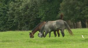 Especialista reafirma que Capim Massai, se mal manejado, pode matar cavalos!