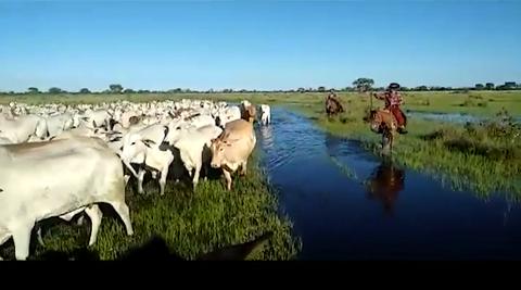 Comitiva de fêmeas Nelore faz a travessia das águas no Pantanal; confira o vídeo