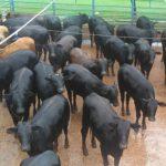 Pré-abate: currais adaptados e manejo garantem bem-estar animal na indústria