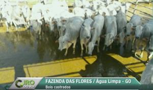 Giro do Dia: boiada capona da Fazenda das Flores, de Água Limpa-GO