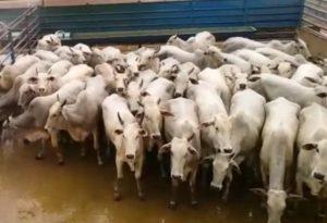 Giro do Dia: vacas Nelore da Fazenda Nova Canaã, de São Miguel do Araguaia-GO
