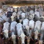 Giro do Dia: boiada castrada da Fazenda Dois Irmãos, de Araputanga-MT