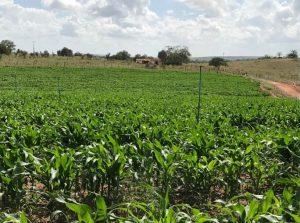 Vedação de pasto e consórcio com milho são opções para a entressafra no Nordeste