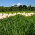 Fazenda em Roraima produz 6 vezes acima da média do estado com ILP
