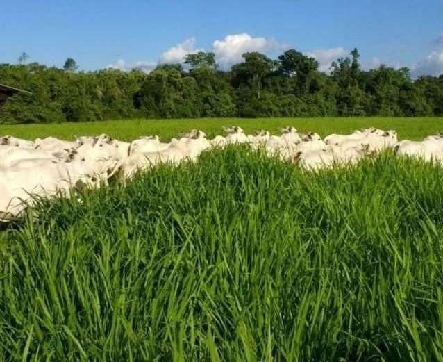 integracao-lavoura-pecuaria-roraima-produtividade-fazenda-prateada