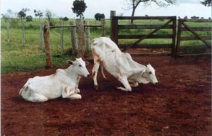 Quais são e como prevenir os principais tipos de clostridioses em bovinos?