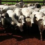 Giro do Dia: machos Nelore terminados no piquetão da Fazenda Ito, em Rolim de Moura-RO