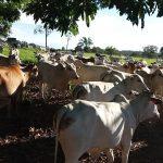 Giro do Dia: novilhada Nelore do Sítio Paraná, de Rolim de Moura-RO