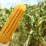 Em ano de milho valorizado, aumente em até 15% o aproveitamento do grão pelo gado