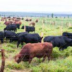 Como produzir uma tonelada de carne bovina por hectare ao ano?