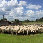 Práticas de bem-estar animal otimizam resposta imunológica dos bovinos