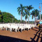 Bem-estar melhora qualidade das carcaças em fazendas do Pará
