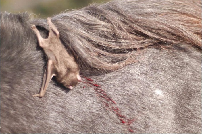 Cresce número de casos de raiva bovina no Brasil; saiba as causas