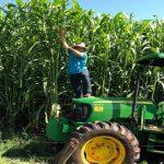 Conheça o híbrido de sorgo boliviano gigante que produz até 120 toneladas por hectare