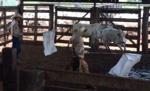Bem-estar animal ganha relevância com intensificação da pecuária no Pará