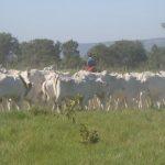 Fundamental para a produtividade da pecuária, bem-estar extrapola as cercas do curral