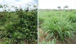 Fazenda que quadruplicou produção de capim na mesma área realiza dia de campo no PA