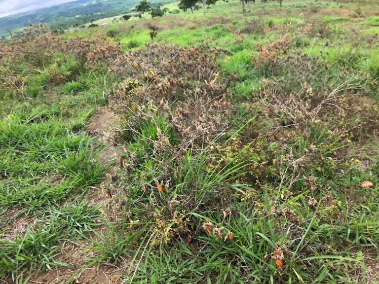 plantas-daninhas-controle-araca-carrasco-nordeste (3)