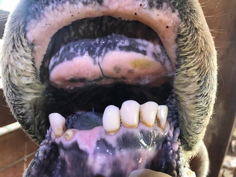 periodondite-boi-com-dor-de-dente