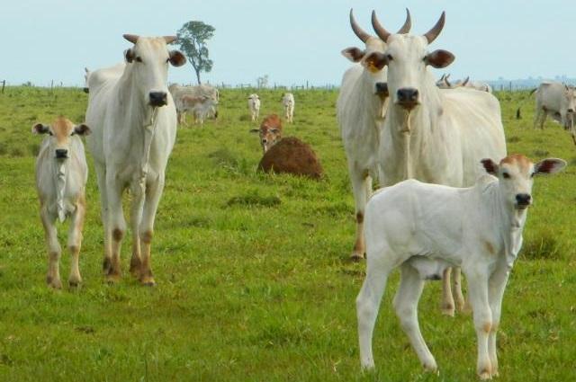 vacas-nelore-cruzamento-nordeste-paraiba-campina-grande