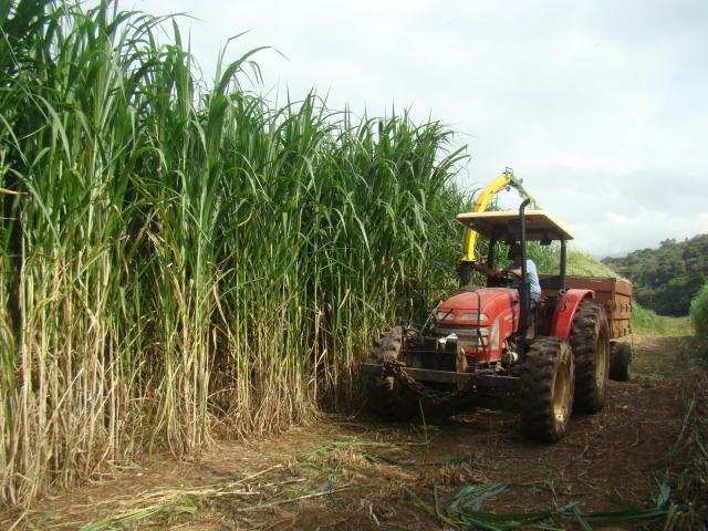 ¿Cuál es la forma correcta de utilizar el pasto Capiaçu para la alimentación del ganado?